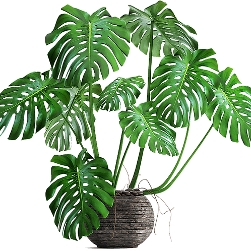 Monstera Deliciosa (Distintos Tamaños)