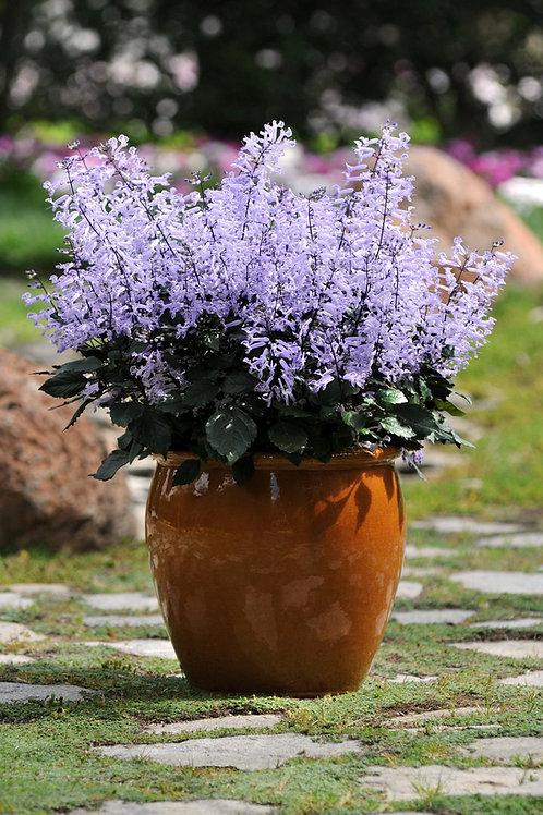 "Plectanthus Monalavander (maceta 6"")"