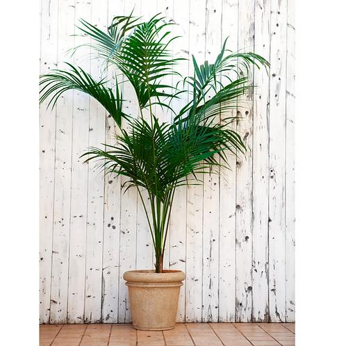 Palma Kentia ( 15 galones)