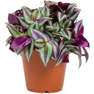 Tradescantia Purpurea (bolsa 2 lt)