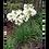 Thumbnail: Agapando flor blanca o azul (bolsa 3 l)