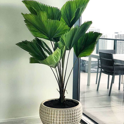 Palma Licuala (Distintos Tamaños)