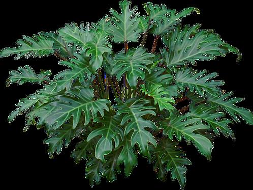Philodendro Xanadú (Distintos tamaños)