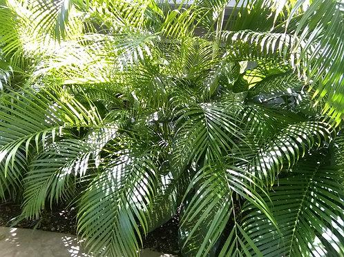 Palma Areka (Bolsa 15 lt)