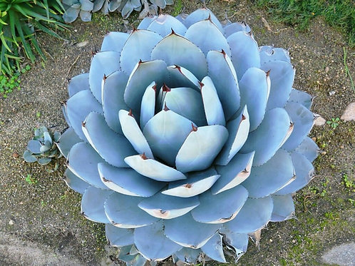 Agave Parry (maceta 7 galones)
