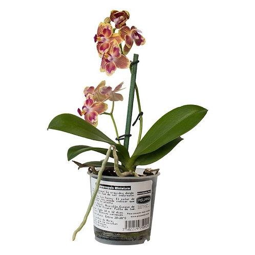 Orquídea Phalaepnosis Mini