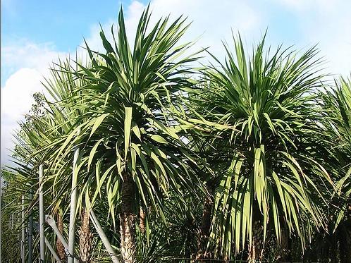 Palma Indivisa (Distintos Tamaños)
