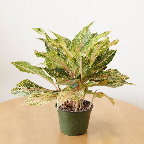 "Aglaonema (maceta 6"")"