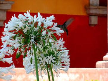 Agapando flor blanca o azul (bolsa 3 l)