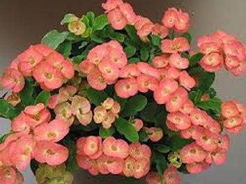 "Euphorbia Milli Salmón (Maceta 6"")"