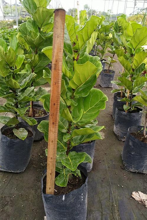 Ficus Pandurata (Distintos Tamaños)