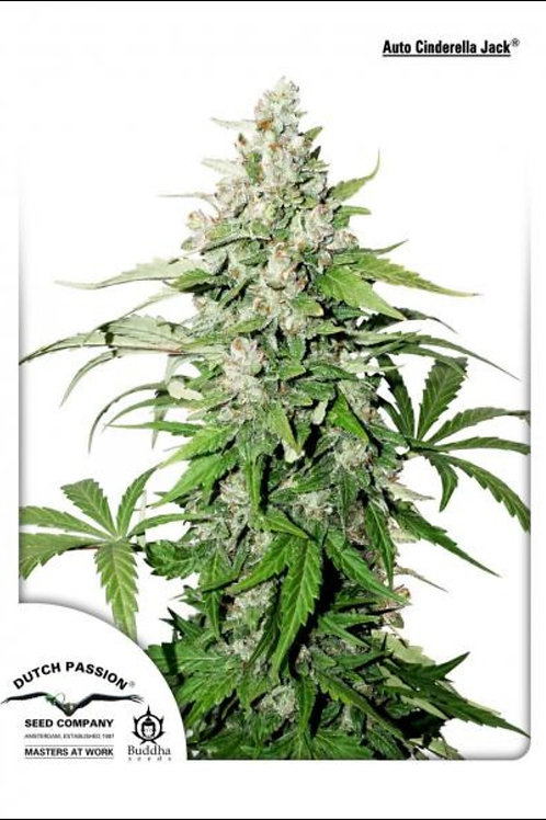 Cinderella Jack Auto Feminised Seeds from Dutch Passion