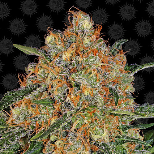 Orange Sherbert – Barney's Farm