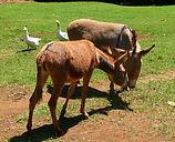 Anesses à Muringa Farm