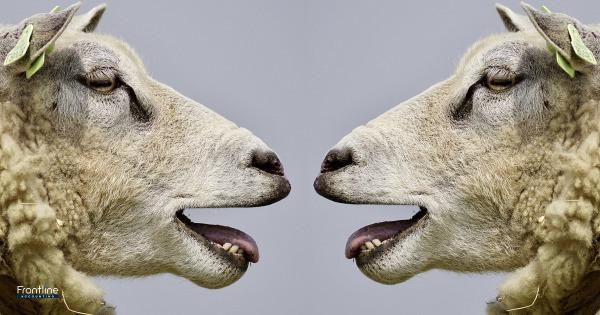 Two lambs talking