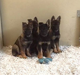 Working line GSD puppies