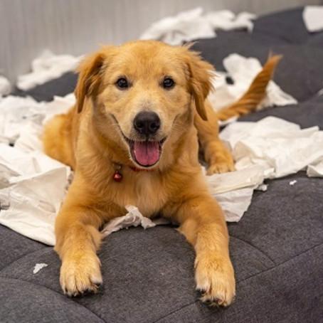 """""""Meu cachorro destrói tudo. E agora?"""""""