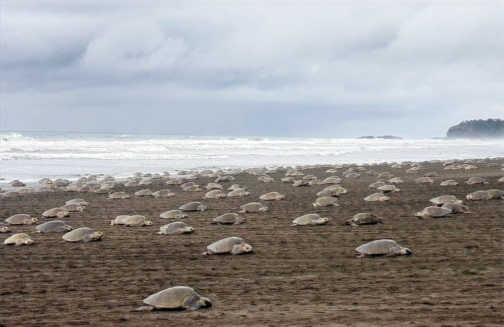 Olive-Ridley Sea Turtles Nesting in Ostional