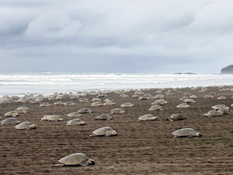 A Natural Phenomenon: Sea Turtles Nesting and Hatching in Playa Ostional
