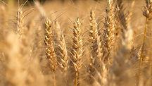 Пшеница. Злаковые от производителя. Рязанская область