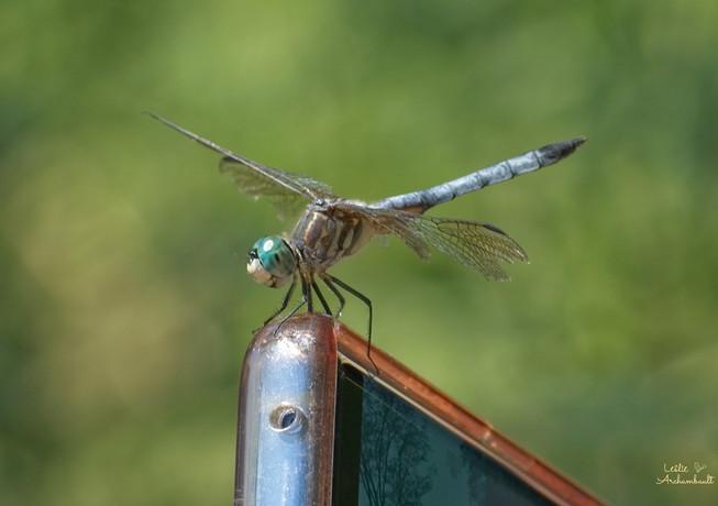 dragonflyphone.jpg