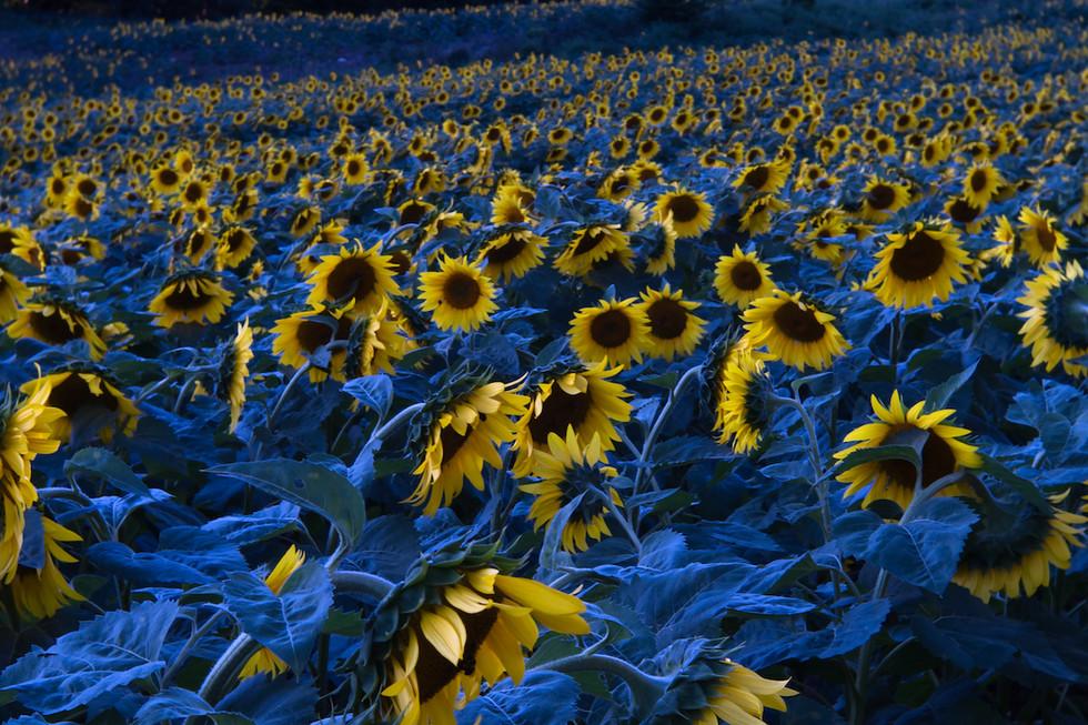 Leslie Archambault -Sunflowers at Dusk.j