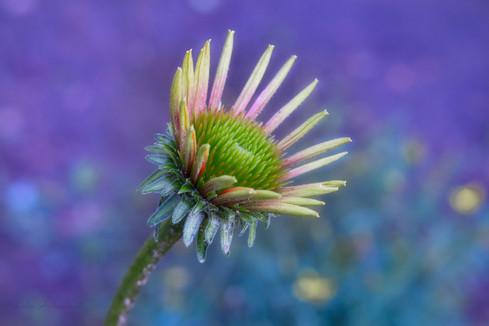 Archambault_Magical Echinacea_flower2.jp