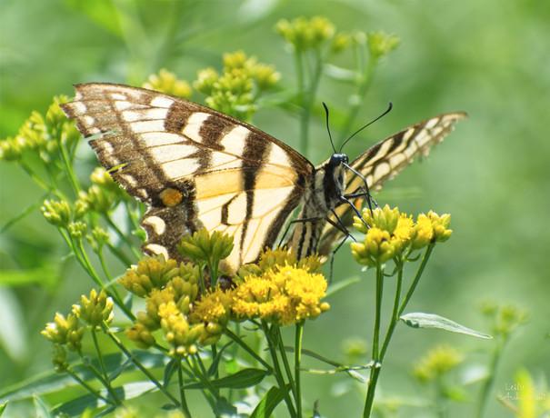Yellow swallowtail at Pinecroft2.jpg