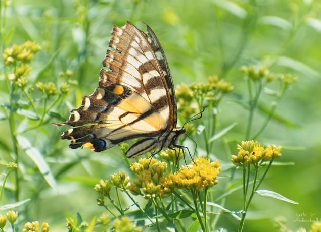 Yellow swallowtail at Pinecroft3.jpg