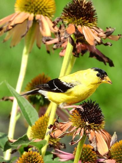 americangoldfinch.jpg