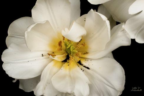 white tulip.jpg