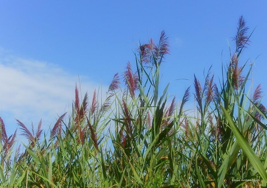 reeds.jpeg