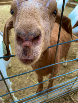 Martinson, Libby Goat