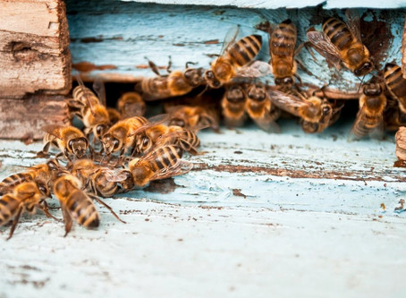 WHY ARE THE BEES GOING EXTINCT?