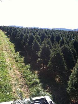 Field of Blue Spruce 2014