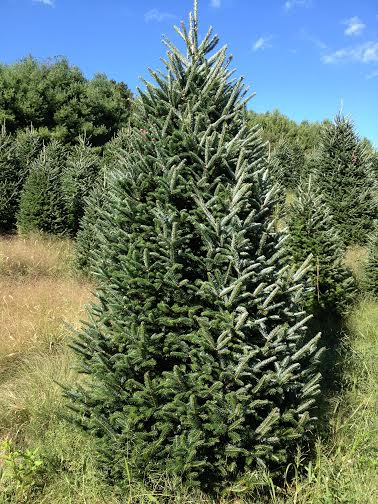 Fraser fir out at our farm