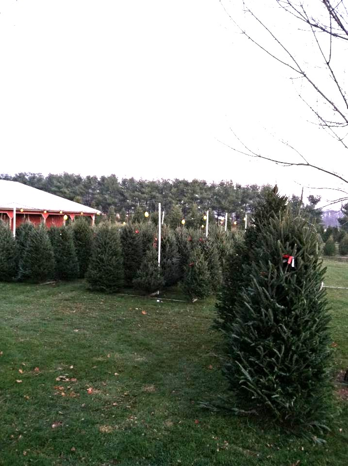 Our 2013 fresh cut tree lot