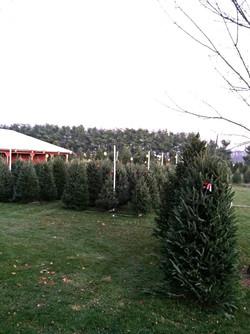 Our 2013 fresh cut tree lot