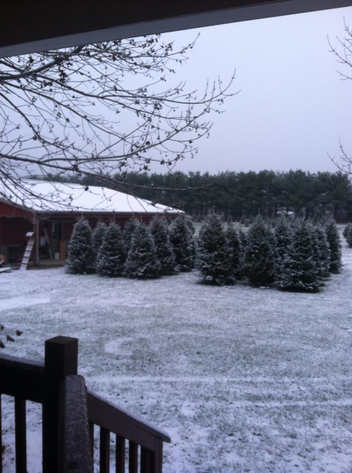 Our freshly cut firs from North Carolina 2013