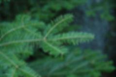 Balsam Needles.jpg
