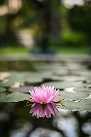 beautiful lotus flower on the water afte