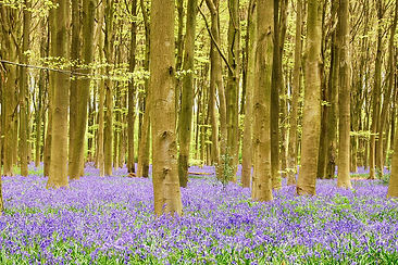 bluebells in the woods in the spring in Devon