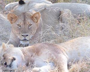 Africa, Lioness.jpeg