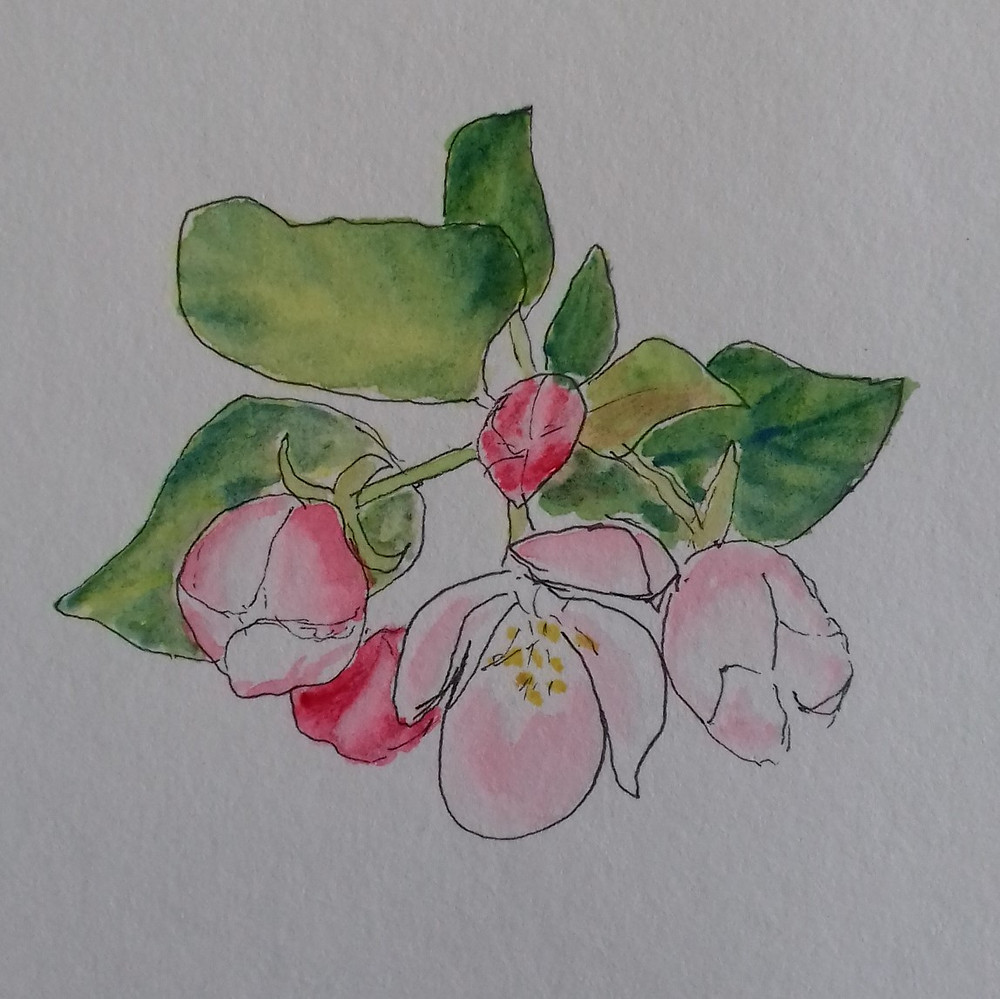 Drawing of apple blossom in ink and watercolour paints
