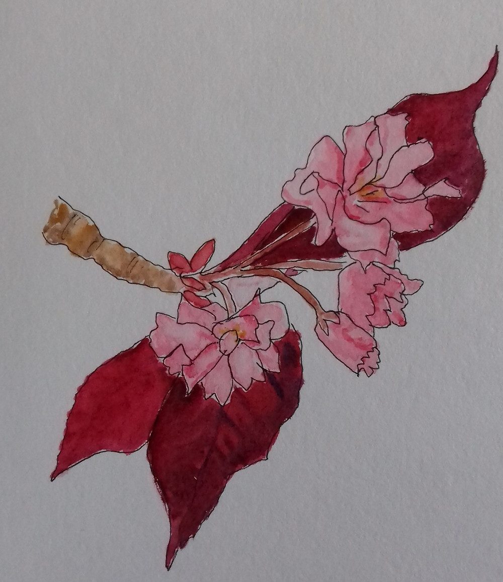 Drawing of cherry blossom in ink and watercolour