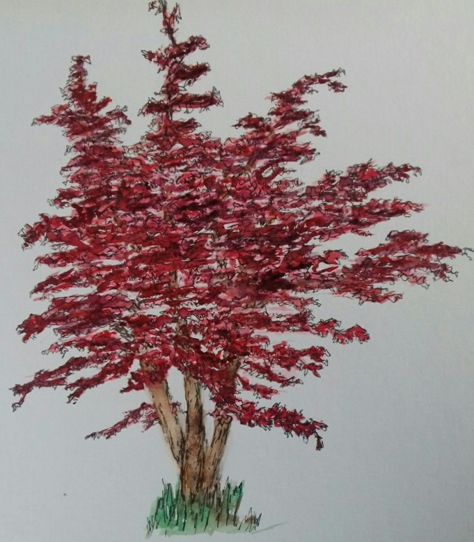 Acer tree painted in watercolour with details in ink.
