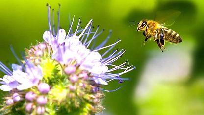 honeybee-purple-flower.adapt.945_edited.