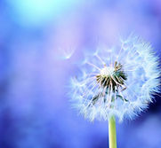 dandelion_background_feathers_seeds_7121