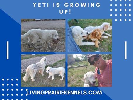 YETI IS GROWINIG LIKE A WEED!