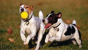 dogs-playing_edited.png
